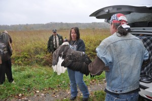 rehabilitated bald eagle