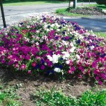 Every spring, Don and Dorothy Sherman plant a mound of petunias by their mailbox in Beaver Falls, Pennsylvania.
