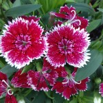 Hannah Warrington of Cadiz, Ohio, is growing these dianthus in her grandfather's garden.