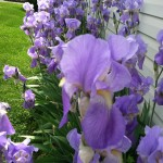 Esther Stelleman, from Mechanicstown, Ohio, took this picture of her purple irises growing in her garden. She gardens with her family.