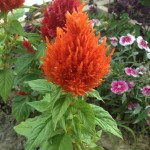 Jill Mott, of Trauger, Pennsylvania, will be entering her celosia plants in one of her local fairs this summer. Good luck, Jill!