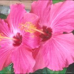 Beth Troy grows hibiscus in her Youngstown, Ohio, garden. Thanks for the photos, Beth!