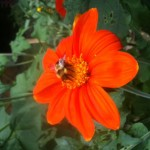 Trumbull County beekeepers, Ed and Kimmer Wolfinger, enjoy seeing pollinators on their flowers, even if they're not all honey bees. This is a Mexican sunflower.