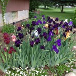 Peg Zelenik's garden in Berlin Center, Ohio, features several flowers. Irises, English daisies and Shasta daises.