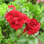 Reva Montgomery took this picture of her roses after a summer rain.