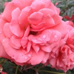 Hannah Warrington of Cadiz, Ohio, took a picture of these roses growing on the side of her church!