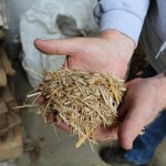 Miscanthus chaf