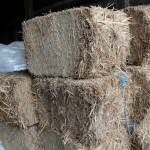 Miscanthus.bales