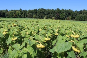 Oilseed sunflowers