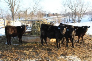 Gahler cattle