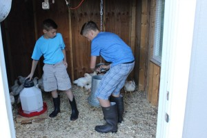 "4-H members and brothers Phillip (left) and Matthew Montazzoli raise both ""layers"" and meat chickens on their family's Auburn Township property."
