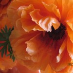 Cathy Burcham shared this close-up of her poppies.